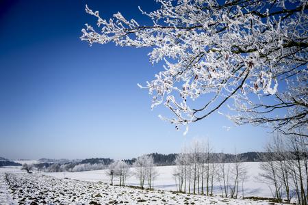frosty morning: Frozen Tree Branches. Winter Landscape.