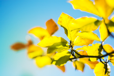 Abstract Autumn Soft Blurred Background with Colorful Beech Tree Leaves Fagus Sylvatica and Blue Sky Stock Photo