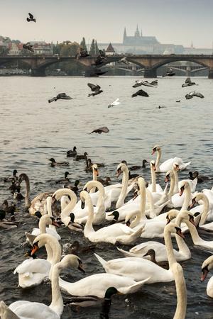palomas volando: Cisnes y patos en el río Vltava con el castillo de Praga y el puente Carlos en el fondo. Por encima de las palomas del vuelo. República Checa, Europa.