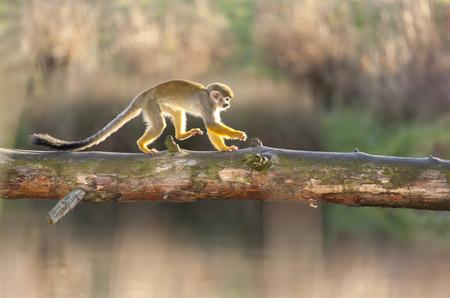 Saimiri Sciureus - Squirrel Monkey Run over River Stock Photo
