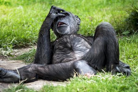 チンパンジー ・ パン ナミ ポートレート。面白いああ猿のジェスチャはありません
