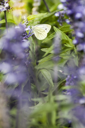 pieris: Pieris Brassicae Butterfly on Blurred Violet Flofers