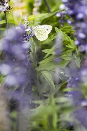 Pieris Brassicae Butterfly on Blurred Violet Flofers