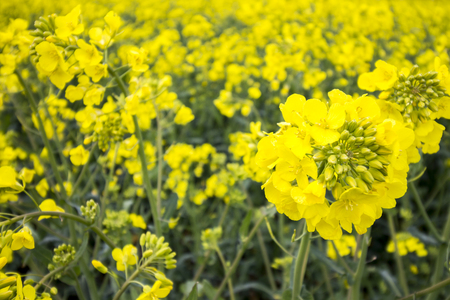 plant seed: Oil Seed Field. Yellow Plant Detail. Stock Photo