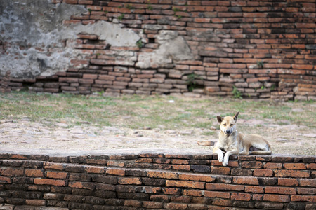 ancient brick wall: Dog - Wolfdog Resting on Ancient Brick Wall