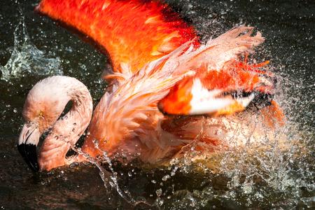 Flamingo Splashing Water. Pink and Orange Bird in Lake.