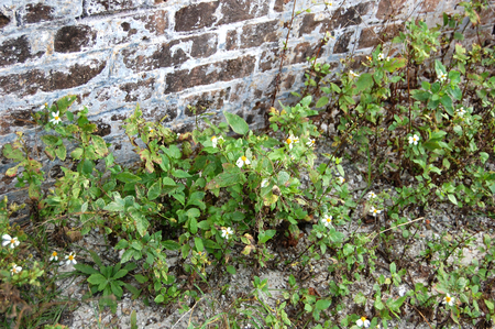 Florida, Fort Pickens, Pensacola, exposed brick, old brick, wild flowers, daisies, 版權商用圖片