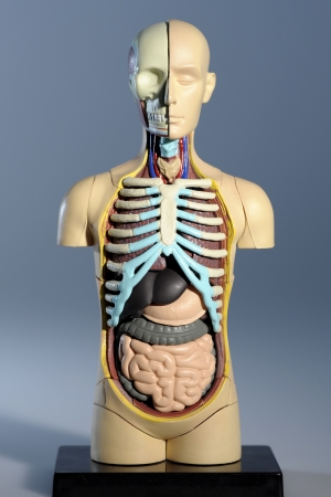 anatomical model: Anatomical Model Front View