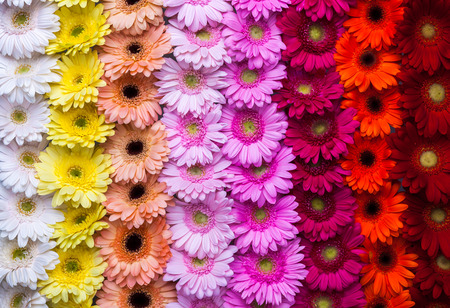 거베라 꽃 무지개 배경