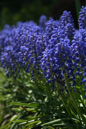 colorful grape hyacinth flowers blooming in the garden stock photo