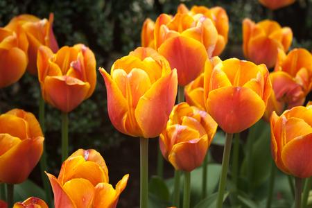 Orange and Pink Tulips Stock Photo