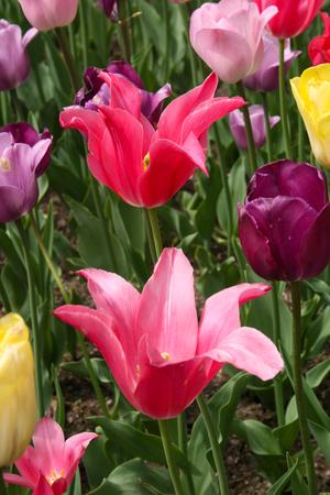 Bright Colorful Tulips