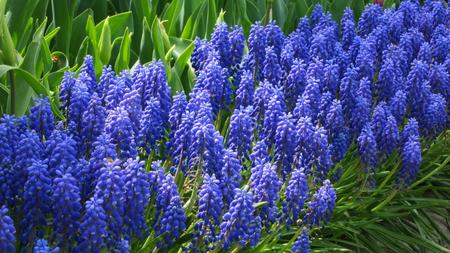 Grape hyacinth flowers in the sun