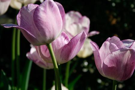 Lavender Long Stem Tulips Stock Photo