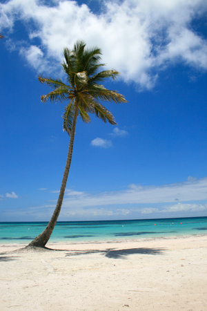 Single Palm tree on beach in Cap Cana, Dominican Republic