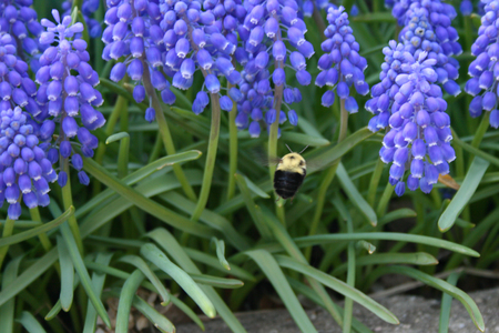 Grape Hyacinth flower and bumble bee
