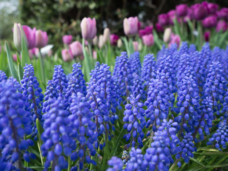 grape hyacinth flowers in the garden and purple tulips in the