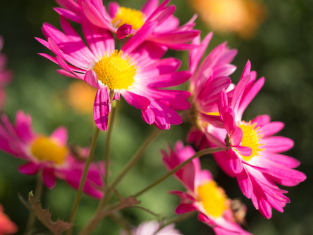 Bright Pink Mums flowers blooming in the garden in Central Park Stock Photo