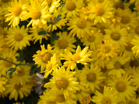 Yellow Chrysanthemum flower background in Central Park Stock Photo