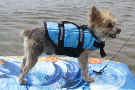 little dog surfing on the lake - having fun on a surf