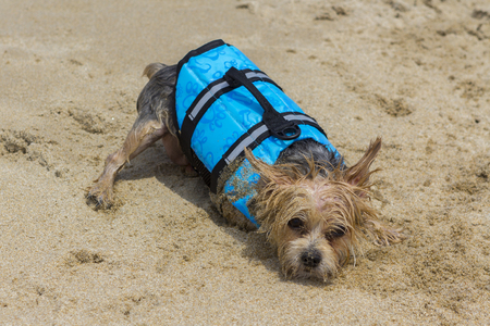 dog have rest in the sand with a  blue waistcoat