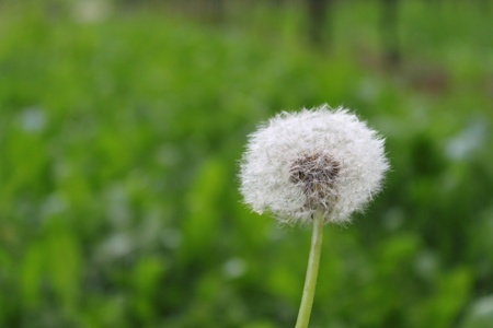 taraxacum: dandelion, taraxacum Stock Photo