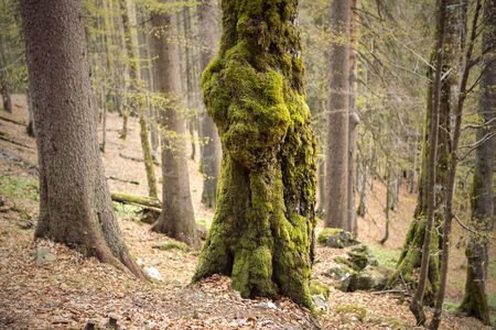 Tree trunk covered with moss. Thick moss overgrown the tree in the forest. Stock Photo