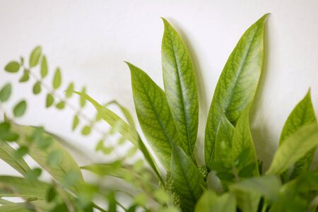 Close up of fresh light green leaves on white background, abstract composition. Foliage background. Banco de Imagens