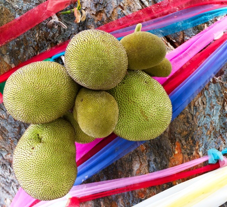 Jackfruits on Tree with Colorful Ribbons in Chiang Mai, Thailand