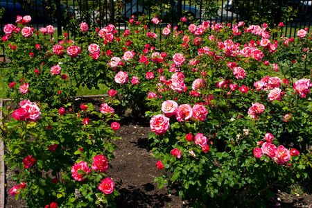 A rose is a flowering shrub of the genus Rosa, and the flower of this shrub.There are more than a hundred species of wild roses, all from the northern hemisphere and mostly from temperate regions. Banco de Imagens - 2926689