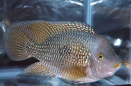 cichlid: Cichlids are fishes from the  Cichlidae in the order Perciformes. Stock Photo