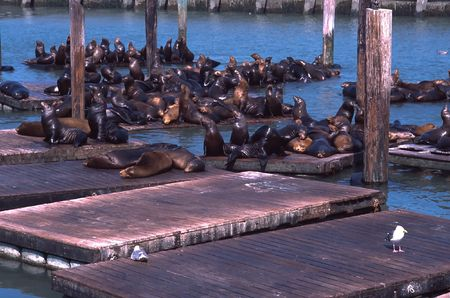 Sea lions on Pier 39 in San Francisco, CA photo