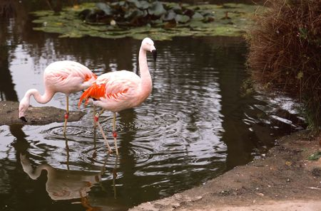 The Greater Flamingo (Phoenicopterus roseus) is the most widespread species of the flamingo . photo