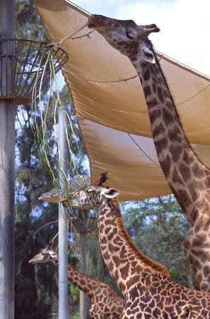 tallest: Giraffe (Giraffa camelopardalis) is an African even-toed ungulate mammal, the tallest of all land-living animal species, and the largest ruminant. Stock Photo