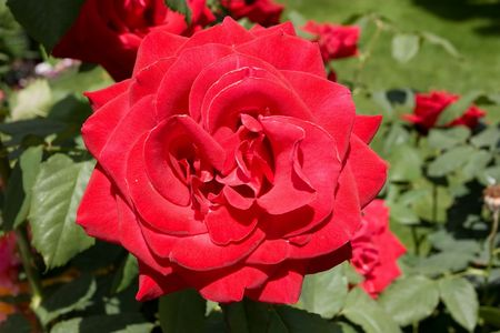 Rose is a flowering shrub of the genus Rosa, and the flower of this shrub.