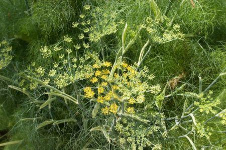 foeniculum vulgare: Fennel (Foeniculum vulgare) is a plant species in the genus Foeniculum