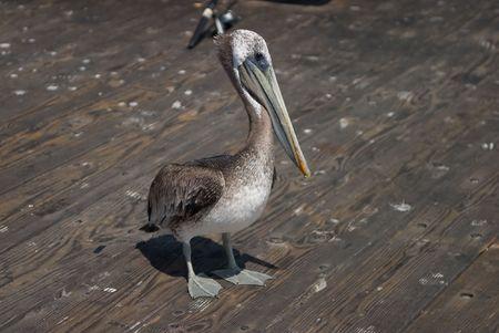 santa barbara: Brown Pelican on Santa Barbara Pier Stock Photo
