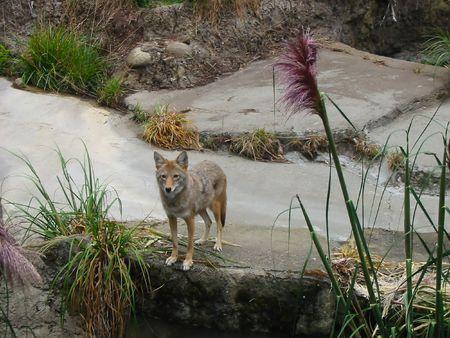 perceptive: Grigio coyote sulla guardare.