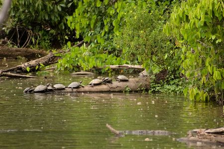 Several side-necked turtles (Podocnemis sp.) on log in Lake Sandoval, Peru photo