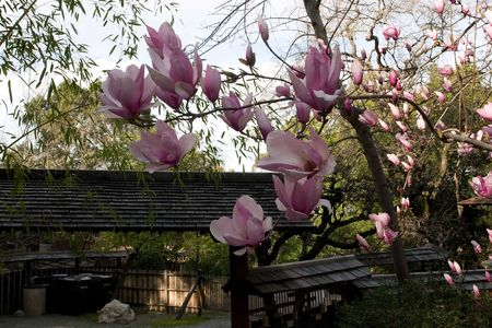 Magnolia is a large genus of about 210[1] flowering plant species in the subfamily Magnolioideae of the family Magnoliaceae. Stock Photo - 3287951