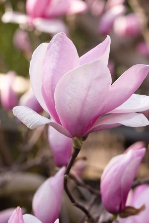 Magnolia is a large genus of about 210[1] flowering plant species in the subfamily Magnolioideae of the family Magnoliaceae. Stock Photo - 3287555