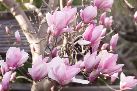 Magnolia is a large genus of about 210[1] flowering plant species in the subfamily Magnolioideae of the family Magnoliaceae. Stock Photo - 3287618