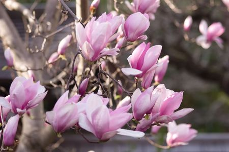 Magnolia is a large genus of about 210[1] flowering plant species in the subfamily Magnolioideae of the family Magnoliaceae. Stock Photo - 3287460