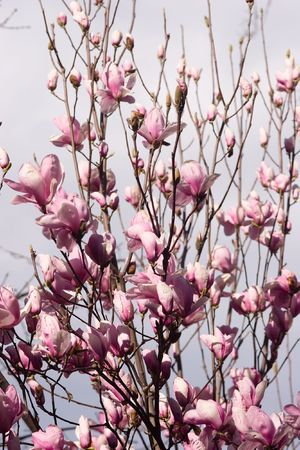 Magnolia is a large genus of about 210[1] flowering plant species in the subfamily Magnolioideae of the family Magnoliaceae. Stock Photo - 3287712