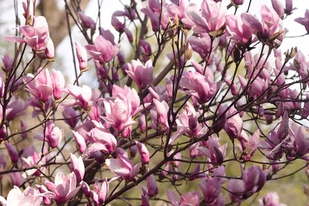 Magnolia is a large genus of about 210[1] flowering plant species in the subfamily Magnolioideae of the family Magnoliaceae. Stock Photo - 3287714