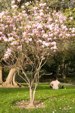 Magnolia is a large genus of about 210[1] flowering plant species in the subfamily Magnolioideae of the family Magnoliaceae. Stock Photo - 3287990