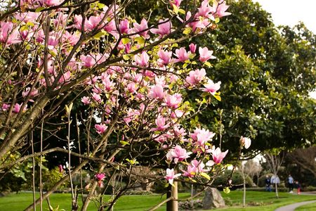 Magnolia is a large genus of about 210[1] flowering plant species in the subfamily Magnolioideae of the family Magnoliaceae. Stock Photo - 3287946