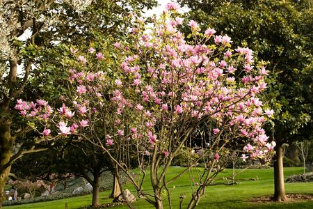 Magnolia is a large genus of about 210[1] flowering plant species in the subfamily Magnolioideae of the family Magnoliaceae. Stock Photo - 3288016