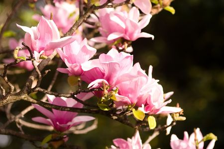 Magnolia is a large genus of about 210[1] flowering plant species in the subfamily Magnolioideae of the family Magnoliaceae. Stock Photo - 3287469