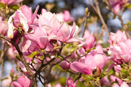 Magnolia is a large genus of about 210[1] flowering plant species in the subfamily Magnolioideae of the family Magnoliaceae. Stock Photo - 3287610